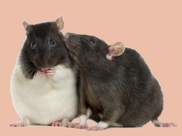 Las ratas pueden detectar la tuberculosis en niños