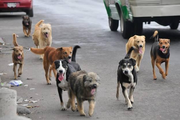 Perros en situación de calle serán esterilizados por veterinarios holandeses