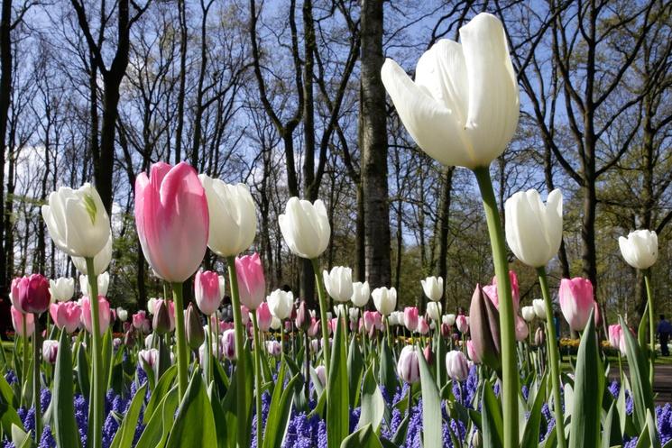 El mayor jardín de tulipanes del mundo vuelve a abrir sus puertas