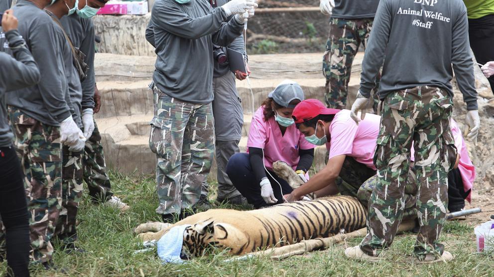 Mueren decenas de tigres encontrados en templo tailandés
