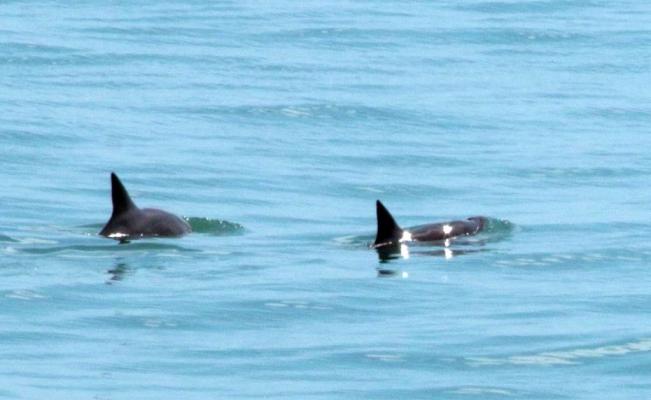 Se da a conocer avistamiento de vaquitas marinas